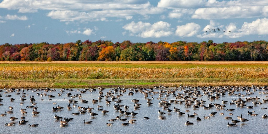 Montezuma National Wildlife Refuge image with a flock of Canadian geese